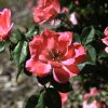 Roses - Photo by Jim Beckel, The Oklahoman