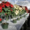 Haldor Howard, manager of greenhouse and gardens at OSU-OKC, with poinsettias grown as trees inside the greenhouse at OSU-OKC in Oklahoma City Thursday, Nov. 29, 2007. By Paul B. Southerland, The Oklahoman