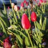 Tulips blooming at sunrise near N Rockwell and W Hefner signal the beginning of spring in Oklahoma City. Photo by Paul B. Southerland, The Oklahoman PAUL B. SOUTHERLAND - PAUL B. SOUTHERLAND