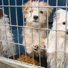 Photo - In this Monday, Feb. 3, 2014 photo, a group of puppies stand in their enclosure at Lied Animal Shelter in Las Vegas where 27 puppies were taken after a fire at Gloria Lee's Prince and Princess Pet Boutique. Lee, 35, is facing charges of arson following the fire. All the puppies were rescued from the fire. (AP Photo/Las Vegas Review-Journal, Erik Verduzco) LOCAL TV OUT; LOCAL INTERNET OUT; LAS VEGAS SUN OUT