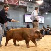 A youth directs his hog in the judging ring at the Oklahoma Youth Expo at State Fair Park on Tuesday, March 18, 2014. Photo by Jim Beckel, The Oklahoman