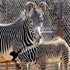 A baby female Grevy\'s zebra born Nov. 25 at the Oklahoma City Zoo stands next to its 9-year-old mother Darasa at the zoo in Oklahoma City Monday, Dec. 3, 2007. By Paul B. Southerland, The Oklahoman