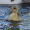 Gosling swimming in the pond by the Bethany library. Community Photo By: Cindi Tennison Submitted By: Cindi , Bethany