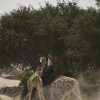 "Rival male giraffes fight in the Hoanib, a river of sand in Namibia. Combat is usually avoided by giraffes but, just occasionally, when the stakes are high enough, males will violently swing their heads to deliver ""sledgehammer"" blows. The Africa team followed one male for over a month to capture behaviour unlike anything seen before. Photo Credit: Discovery Channel/BBC"