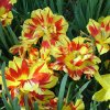 Red and yellow striped tulips at