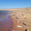 Photo - Dead fish cover the shoreline at Altus-Lugert Lake in February. An estimated 350,000 fish died over a three month period at Altus-Lugert Lake, the rest of toxic golden algae blooms. Photo provided by the Oklahoma Department of Wildlife Conservation