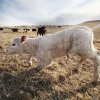 Photo - In this March 17, 2014 a newborn calf tries to stand on the O'Connor Ranch near Philip, South Dakota. The arrival of spring calving season brings hope to Chuck O'Connor who lost 45 of his 600 cows and 50 of his 600 calves in last fall's unexpected blizzard. (AP Photo/Toby Brusseau)