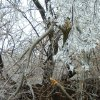 Midwest City tree torn apart by ice Community Photo By: Teresa Mohler Submitted By: Teresa, Midwest City