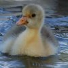 Gosling at pond near Bethany library (cropped) Community Photo By: Cindi Tennison Submitted By: Cindi , Bethany