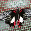 A Swallowtail Butterfly rests on the side of the Butterfly House at the Oklahoma State Fair at State Fair Park in Oklahoma City, OK, Thursday, September 20, 2012, By Paul Hellstern, The Oklahoman