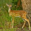 A whitetail fawn near Lake Quanah Parker in the Wichita Mountains. Photo by Lindell Dillon