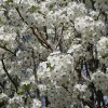 Bradford Pear tree in bloom Community Photo By: Cindi Tennison Submitted By: Cindi , Bethany