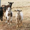 Nigerian dwarf goats gather together Wednesday at the Oklahoma City Zoo. Photos by Paul B. Southerland, The Oklahoman
