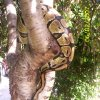our pet snake .. believe me I was so afraid of snakes but this snake is like really pretty in the sunlight he turns gold and glitters.. but fights me when it\'s time to get out of the tree... Community Photo By: Tama kirkpatrick Submitted By: Tama, Midwest
