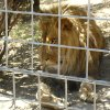Photo - This 2012 photo provided by KFSN-TV shows a 4-year-old male African lion named Couscous at Cat Haven, a private wild animal park in Dunlap, Calif. Authorities say the lion killed a female intern-volunteer on Wednesday, March 6, 2013, at Cat Haven, where the cat had been raised since it was a cub. The intern was attacked and fatally injured after getting into an enclosure with the lion, Fresno County sheriff's Sgt. Greg Collins said. (AP Photo/KFSN-TV) OUT KGPE, KSEE, KMPH, KFTV; FRESNO BEE OUT, VISALIA TIMES-DELTA OUT