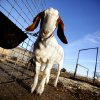 A goat is pictured at a barn in Hennessey, Okla., Thursday, Feb. 16, 2012. Photo by Sarah Phipps, The Oklahoman