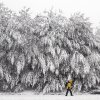 A pedestrian walks past a grove of snow-covered trees Friday, Feb. 5, 2016, in Marlborough, Mass. What started off as rain Friday morning quickly turned to sticky, heavy snow. Many school districts in the region closed for the day, including in some in Massachusetts, New Hampshire and Rhode Island. (AP Photo/Bill Sikes)