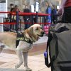 Photo -   Explosives detection Labrador retriever K9 Rrall sniffs bags, passengers, and the air for the scent of explosives at Will Rogers Airport in Oklahoma City, Tuesday, Nov. 20, 2012, as travelers head out of town for the Thanksgiving holiday. (AP Photo/Sue Ogrocki)