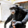 Baby chimpanzee Zoe plays with her surrogate mother, Abby, this summer at the Oklahoma City Zoo. Abby has adopted Zoe as her own after the baby's mother, Chloe, died in childbirth. BY JENNIFER DAVIS, OKLAHOMA CITY ZOO