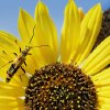 FLOWER: A beetle crawls across the petals of a sunflower on Tuesday, Sept. 26, 2006, in Oklahoma City, Okla. where temperatures reached near 90 degrees. By Chris Landsberger, The Oklahoman ORG XMIT: KOD