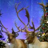 Photo - Taxidermied reindeer sit on display at Bass Pro Shops' Santa's Wonderland Sunday, Nov. 22, 2009, in Oklahoma City. Photo by Sarah Phipps, The Oklahoman ORG XMIT: KOD