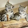 Snow leopard cubs in their indoor habitat at the Oklahoma City Zoo in Oklahoma City, Tuesday, August 10, 2010. The cubs were born May 12, 2010. Photo by Paul B. Southerland, The Oklahoman