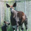 Photo - An okapi calf stands by his mother in their exhibit at the Oklahoma City Zoo. The calf was born Aug. 15. - PHOTO PROVIDED BY OKLAHOMA CITY ZOO   ORG XMIT: 0908262221487432