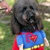 A Labradoodle named Snicker poses in his Superman costume during the 13th annual Nichols Hills Pooch Parade at Grand Park in Nichols Hills on Sunday, Sept. 20, 2009. Snicker is owned by Mark and Linda Hill of Nichols Hills. By John Clanton, The Oklahoman ORG XMIT: KOD