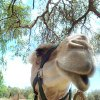 Photo -  Camels are a beautiful and useful animal, but their proliferation has made them controversial in Australia. Photo courtesy of Steve Murray.