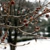 Photo - Berries and buds are encapsulated with ice as freezing rain, sleet and snow continues to accumulate on trees and power lines during a winter storm on Wednesday, Feb. 12, 2014, in Atlanta. (AP Photo/David Tulis)