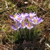 Crocuses at Will Rogers Park say Spring is around the corner. Community Photo By: Carl Griffin Submitted By: carl, edmond