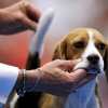 Marcelo Chagas handles Lola, a Beagle, who won Best of Group, during the during the Oklahoma City Summer Classic Dog Show at the Cox Convention Center in Oklahoma City Sunday, June 28, 2009. Photo by John Clanton, The Oklahoman