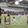 Zep, a Shetland sheepdog, competes in the jumpers course alongside handler Delaney Ratner during the Masters Agility Championship at Westminster staged at Pier 94, Saturday, Feb. 8, 2014, in New York. The competition marks the first time mixed-breed dogs have appeared at Westminster. (AP Photo/John Minchillo)