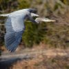 Photographing the Great Blue Heron at Lake Hefner - A Great Hobby to Pursue! Photo by Ruthann Lach