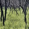 Photo - Charred trees stand in a field on NE 178th street after last years wildfires in Luther, Wednesday August 1, 2013. Photo By Steve Gooch, The Oklahoman