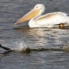 A Cormorant takes flight with a White Pelican in the background at the Oklahoma City Zoo lake during it\'s migration south in Oklahoma City, Thursday December, 8, 2011. Photo by Steve Gooch, The Oklahoman.