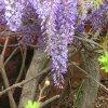 Wisteria at Will Rogers Park Community Photo By: Carl Griffin Submitted By: carl, edmond