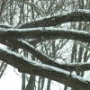 Snow on tree limbs Community Photo By: Carl Griffin Submitted By: carl, edmond
