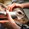 DEER EYE SURGERY: Dr. Robert Gwin, Oklahoma City veterinary opthalmologist, performed procedure to remove film from doe\'s eyes, Monday, Dec. 21, 2009. The deer was born Oct. 4. Gwin\'s staff shave around the deer\'s eyes as they prep the animal for surgery. Photo by Jim Beckel, The Oklahoman ORG XMIT: KOD