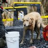 Rescue dog Nexus, muddy from working onsite, is decontaminated via hose after leaving the west side of the mudslide on Highway 530 near mile marker 37 on Sunday, March 30, 2014, in Arlington, Wash. Periods of rain and wind have hampered efforts the past two days, with some rain showers continuing today. (AP Photo/Rick Wilking, Pool)