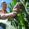 Photo -  Neal Bredehoeft of Alma, Mo., in Lafayette County, examines his corn for any evidence of Japanese beetles, which he said are a serious concern for corn farmers, on July 3. Farming could be on track to become a right, written into law alongside the freedom of speech and religion. Some powerful agriculture interests want to declare farming a right at the state level as part of a wider campaign to fortify the ag industry against crusades by animal-welfare activists and opponents of genetically modified crops. AP Photo  <strong>T. Rob Brown</strong>