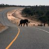 Photo - In this July 12, 2014 photo, an elephants crosses the main highway leading to Zambia in Northern Botswana. Recent years have yielded dire news about ivory poaching in Africa, where conservationists say poachers killed more than 20,000 elephants in 2013 amid rising demand for their tusks in Asia, particularly China. Yet Botswana is a rare bright spot because, the government says, it has about 200,000 elephants and the population is growing. Estimates for the total number of elephants in Africa range from 420,000 to 650,000, according to CITES and other conservation organizations.(AP Photo)