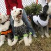 Old English sheep dogs Murphy, Tucker and Fiona during the first Howl-O-Ween dog costume contest sponsored by the Edmond Animal Welfare department, at the Edmond dog park, Saturday, Oct. 23, 2010. Photo by Doug Hoke, The Oklahoman