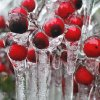 Left: Ice coats berries in a yard on Woods Avenue in Norman. PHOTO BY JACONNA AGUIRRE, THE OKLAHOMAN