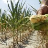 Photo - FILE - In this July 11, 2012 file photo, Steve Niedbalski shows his drought and heat stricken corn while chopping it down for feed in Nashville, Ill. Higher temperatures will reduce Midwest crop yields by 19 percent by midcentury and by 63 percent by the end of the century, according to a report backed by a trio of men with vast business experience that was released Tuesday, June 24, 2014. (AP Photo/Seth Perlman, File)