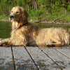 This 2012 photo provided by Colorado State University, shows a golden retriever, Louie Mesinger, taking a rest after swimming and diving in the summer at Holland Lake, in Mont. When Jay Mesinger heard about a dog cancer study seeking purebred golden retriever puppies to track their health for life, he immediately signed up 2-year-old Louie. He and his wife know firsthand the toll that canine cancer can take: Louie is their fourth golden retriever. (AP Photo/Colorado State University/Josh Mesinger)