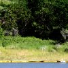 Photo - In this July 10, 2014, photo, pelicans pass a containment boom on the edge of Bear Den Bay, close to the location of a saltwater pipeline spill near Mandaree, N.D. (AP Photo/Tyler Bell)