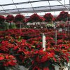 Poinsettias grow at TLC Florist and Greenhouses in Oklahoma City. PHOTO PROVIDED