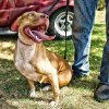 Photo of pit bull terrier provided by Pit Bull Rescue Oklahoma.