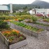 Photo - This Aug, 2012 photo shows the Historic Skagway Inn garden, where various vegetables, herbs and other ingredients are grown for use in cooking demonstrations at the Inn's restaurant, Olivia's, in Skagway, Alaska . The bed and breakfast in what was once known as